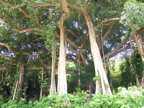 Cây Đa Ngàn Năm ở Sơn Trà du lịch Đà Nẵng