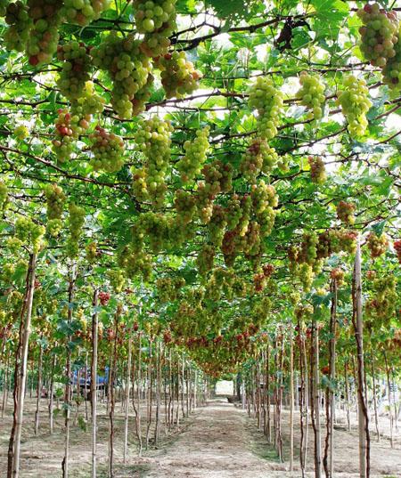 Vườn Nho Du lịch Ninh Thuận